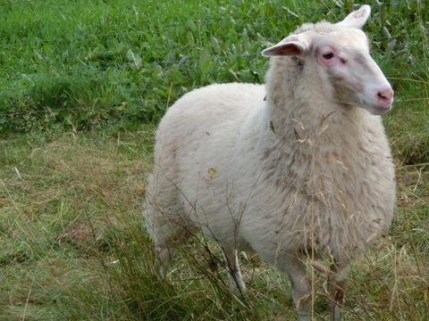 Får i fårhage