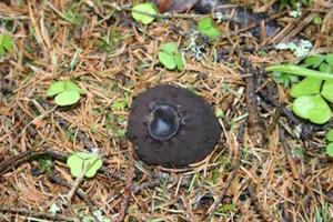 Bombmurkla Foto Hans Andersson